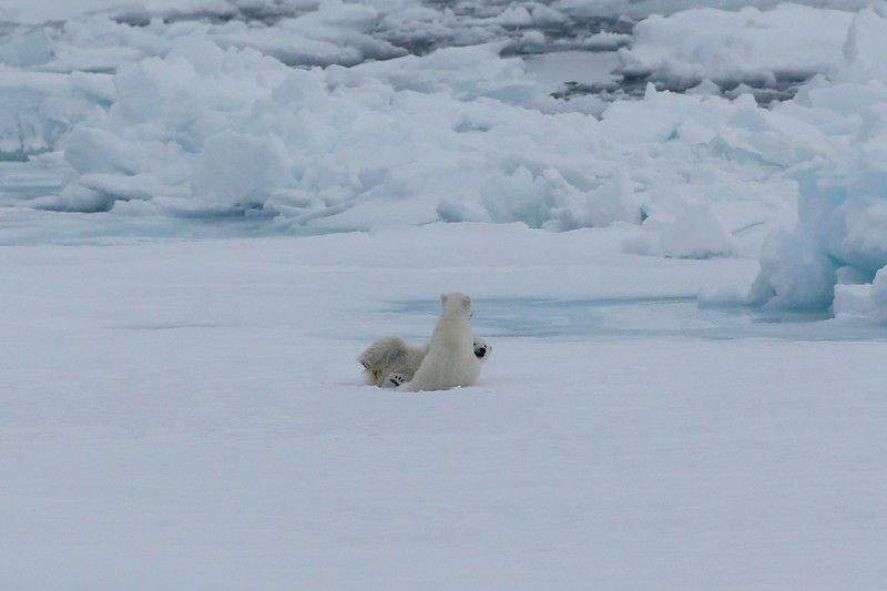 Two cubs playing on the pack ice in Palanderbukta