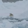 Polar bear cub trying to balance and failing!