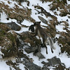 An Arctic fox with a guillemot at Alkefjellet