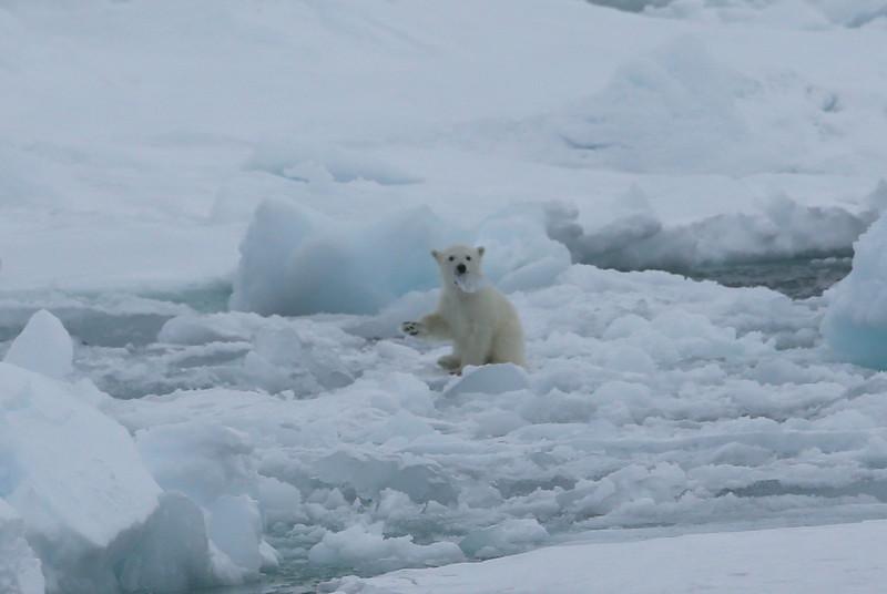 Polar bear cub playing with a lump of ice