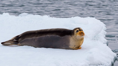Young bearded seal