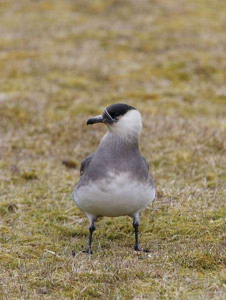 An Arctic skua at Camp Millar, with reindeer fur in its beak from a recent attack on one who strayed too close to its nest.