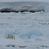 Female polar bear on pack ice in Palanderbukta
