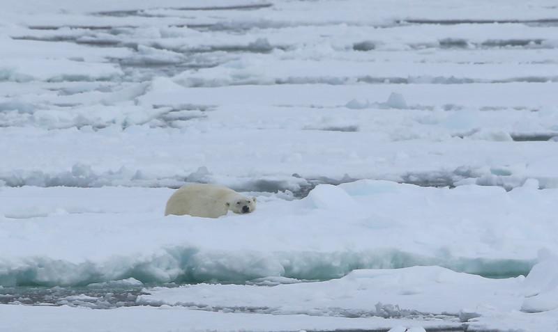 Polar bear on pack ice in Erik Eriksenstretet