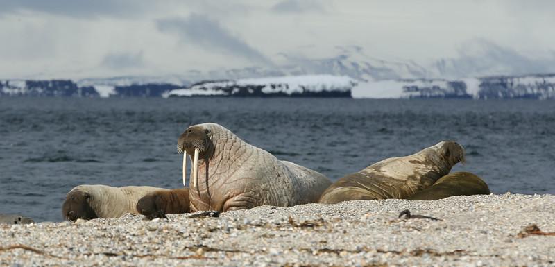 Walruses hauled out at Torellneset