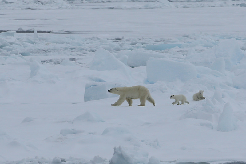 Mother and cubs on pack ice in Palanderbukta