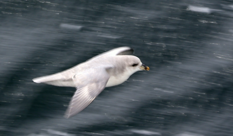 Slow-panning of a Northern fulmar