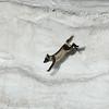 An Arctic fox at Diskobukta