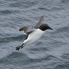 Brunnich's guillemot landing near the bird cliffs at Alkefjellet