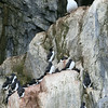Brunnich's guillemots on the bird cliffs at Alkefjellet