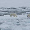 Two cubs on the pack ice in Palanderbukta