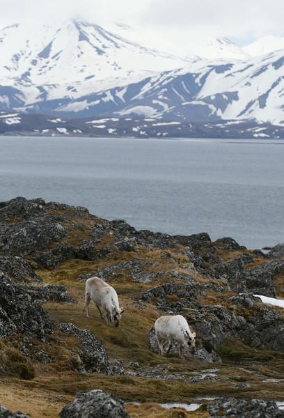 Svalbard reindeer at Cape Millar