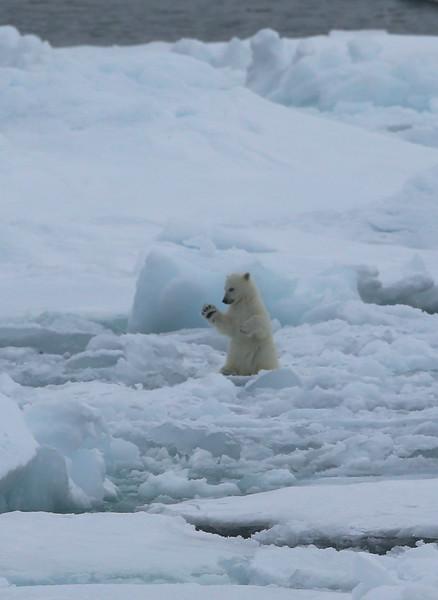 "Polar bear cub and the ""high five"" sequence"