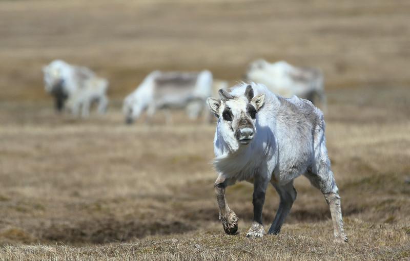 Svalbard reindeer at Sundneset