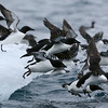 Brunnich's guillemots on ice near the bird cliffs at Alkefjellet