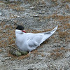 An Arctic tern on a nest next to the road outside Longyearbyen