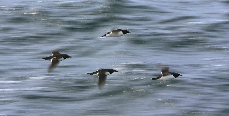 Slow-panning attempt at catching Brunnich's guillemots in flight
