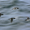 Slow-panning attempt at catching Brunnich's guillemots in flight