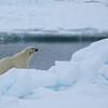 Our third bear on pack ice in Erik Eriksenstretet