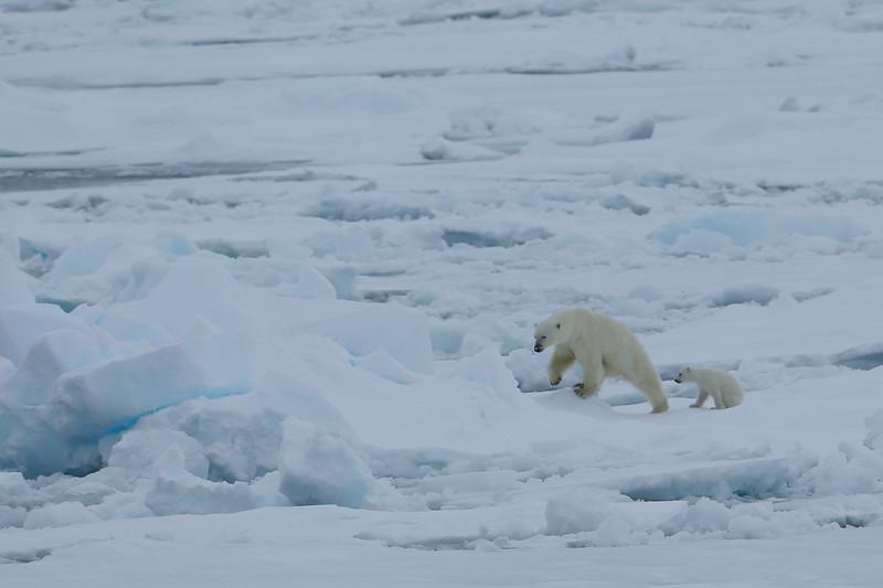 Polar bear mother and cubs in Palanderbukta