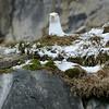 Glaucous gull on the bird cliffs at Alkefjellet