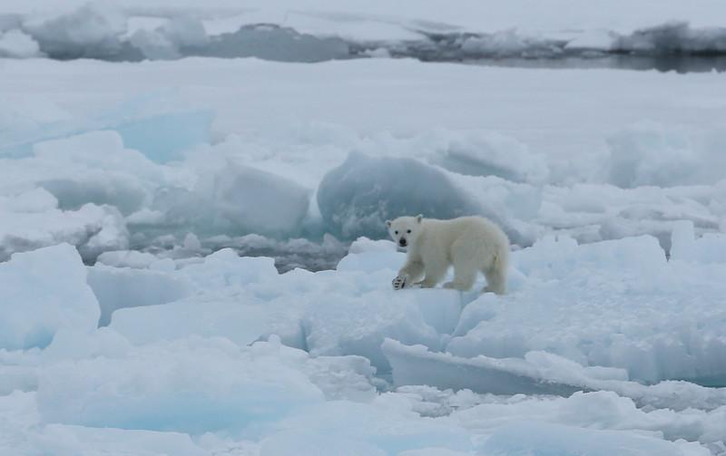 Polar bear cub on the ice in Palanderbukta