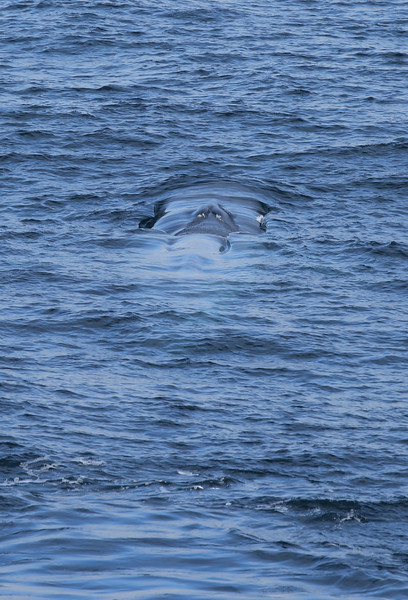 Juvenile blue whale off the southern tip of Spitsbergen