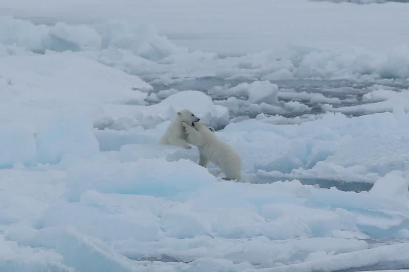 Polar bear cubs playing in Palanderbukta