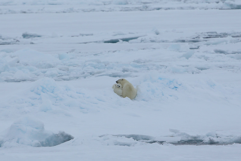 Our first views of a polar bear mother and two cubs in Palanderbukta