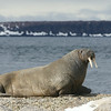 Walrus hauled out at Torellneset