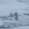"Polar bear cub and the ""high five"" sequence"