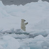 Polar bear cub trying to balance and failing!