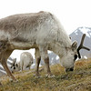 Svalbard reindeer in Longyearbyen