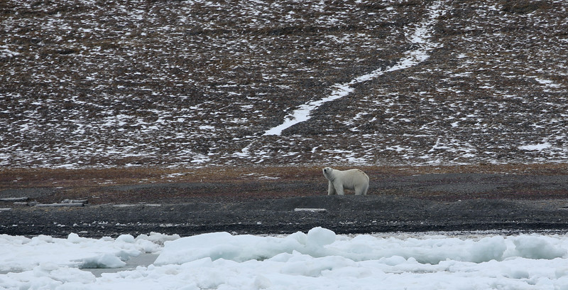 Our first polar bear in Freemansundet.  He had the number 55 on his rump and had been caught three times in the past in this immediate area.