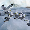 Black-legged kittiwakes in Hornsund