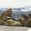 Walruses hauled out at Torellneset