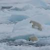 Polar bear cubs on the ice in Palanderbukta