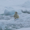 Polar bear cub playing with a lump of ice
