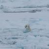 Polar bear cubs in Palanderbukta