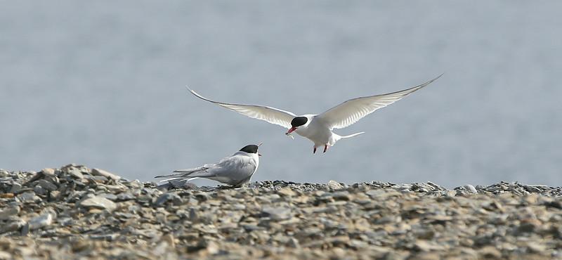 Arctic terns nesting at Recherchefjord