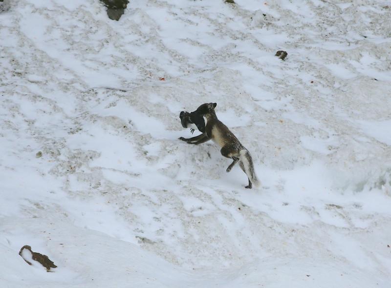An Arctic fox with a guillemot at Alkefjellet
