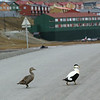 Eiders crossing the road outside Longyearbyen