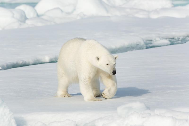 female Polar Bear