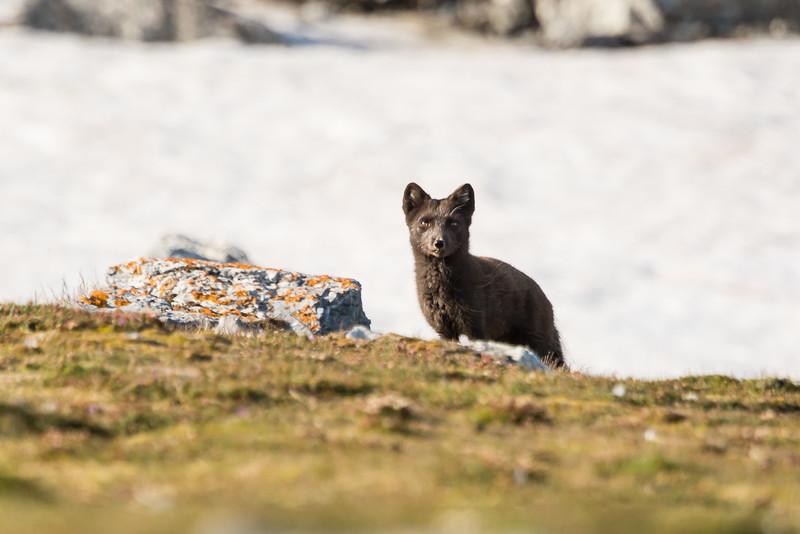 Arctic Fox, (blue coat), Svalbard