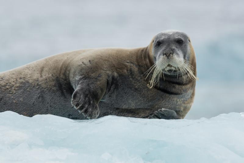 Bearded Seal on iceberg