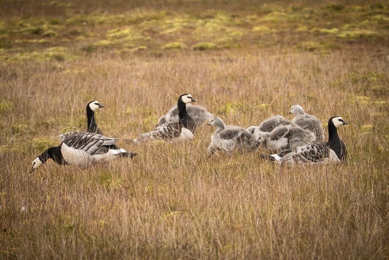 Barnacle Geese and goslings in Longyearbyen