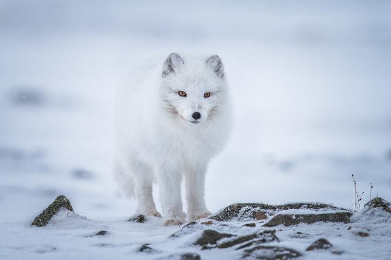 Arctic Fox (Alopex lagopus) - Líška polárna