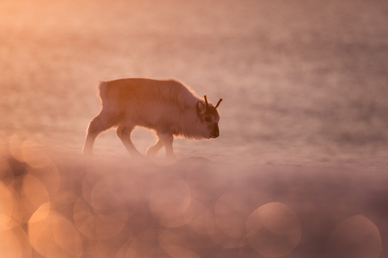 Svalbard reindeer (Rangifer tarandus platyrhynchus)