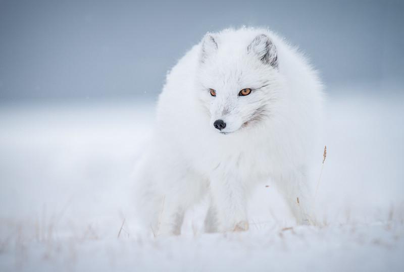 Arctic fox (Alopex lagopus) / Líška polárna