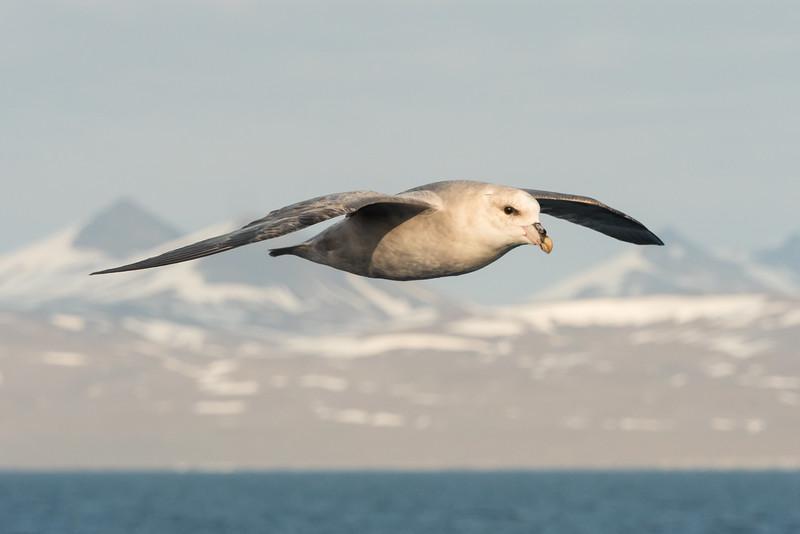 Northern Fulmers, birds, Norway, Svalbard